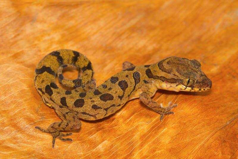 Clouded ground gecko, Cyrtodactylus nebulosus from Chhattisgarh royalty free stock photography