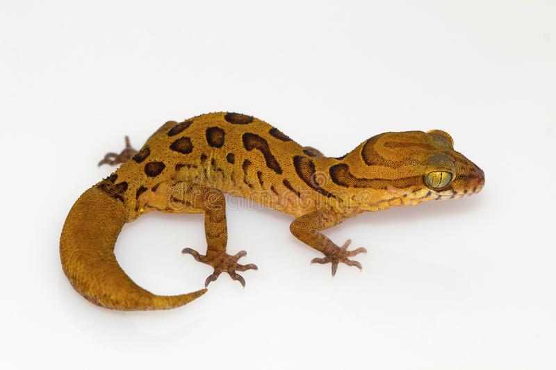 Clouded ground gecko, Cyrtodactylus nebulosus. Chhattisgarh, India. Cyrtodactylus nebulosus is very widely distributed in the Eastern Ghats of Andhra Pradesh and royalty free stock photography