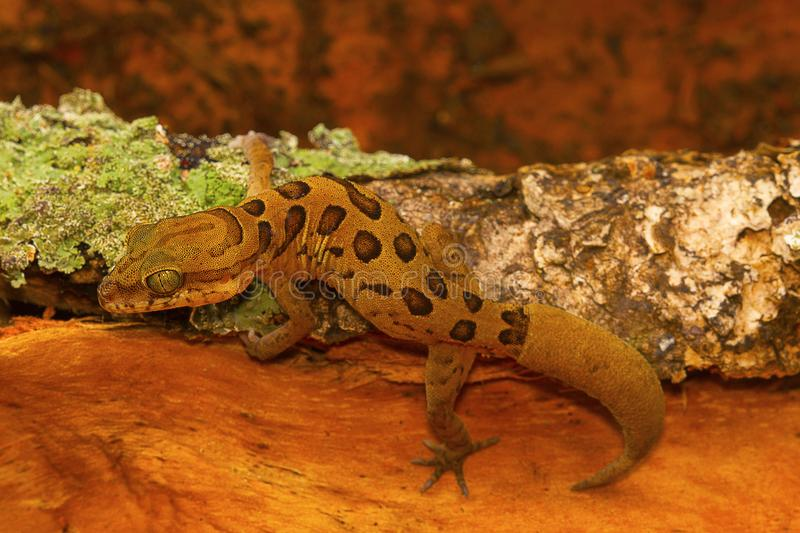 Clouded ground gecko, Cyrtodactylus nebulosus. Chhattisgarh, India. Cyrtodactylus nebulosus is very widely distributed in the Eastern Ghats of Andhra Pradesh and stock images