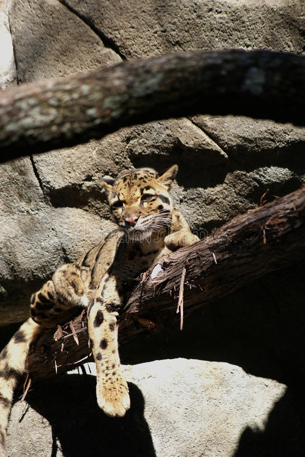Clouded Leopard stock images