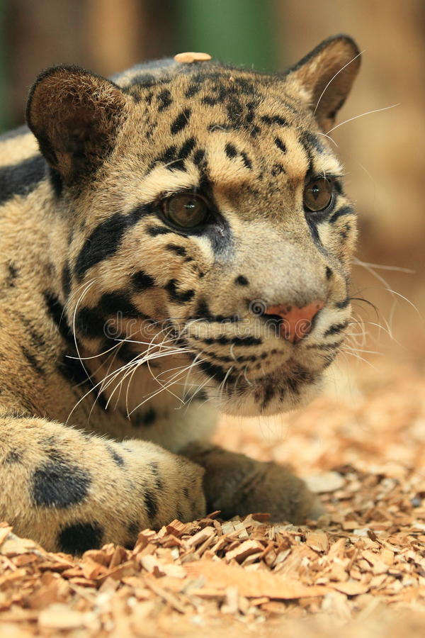 Free Clouded Leopard Stock Photos - 29270903