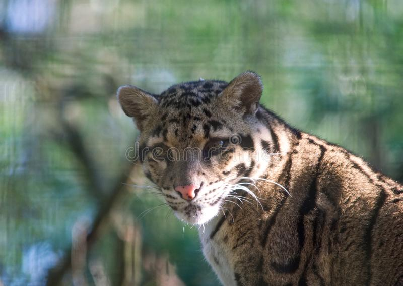 Clouded Leopard. A clouded leopard in dappled sunlight - light and shadow stock photography