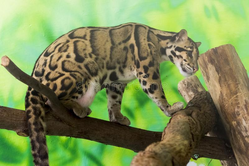 Clouded leopard on a tree royalty free stock photos