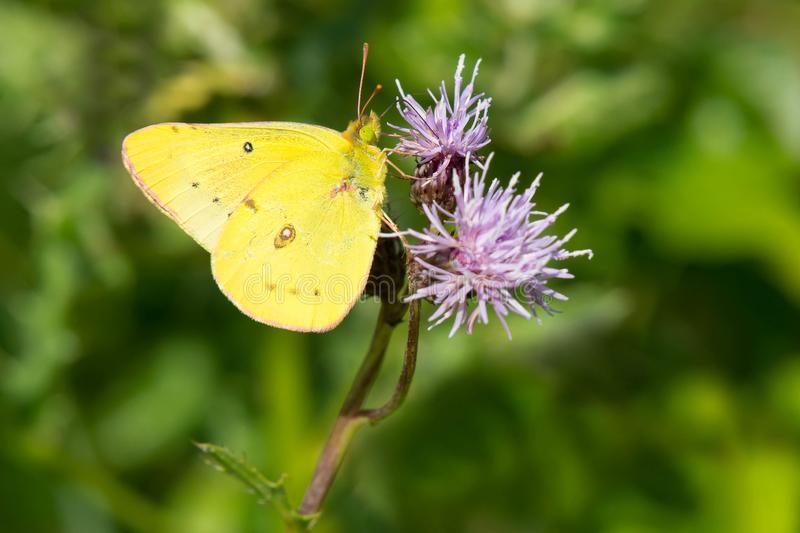 Clouded Sulphur Butterfly - Colias philodice. Clouded Sulphur Butterfly collecting nectar from a Spotted Knapweed Flower. Also known as a Common Sulphur. Tommy royalty free stock image