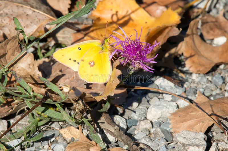 Orange Sulphur Butterfly - Colias eurytheme. Orange Sulphur Butterfly collecting nectar from a Spotted Knapweed flower. Also known as an Alfalfa Butterfly. Tommy royalty free stock photos