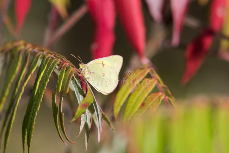 Clouded Sulfur Butterfly In Autumn. A Clouded Sulphur butterfly surrounded by autumn leaves in Toronto`s Tommy Thompson Park stock photo
