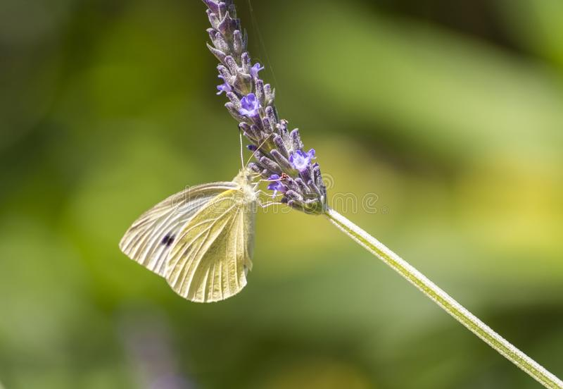 Clouded yellow butterfly on an isolated lavender.  royalty free stock photos