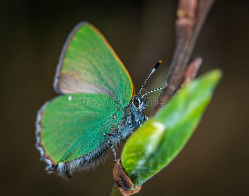 Cloudless Sulphur Butterfly Perched on Brown Plant Stem royalty free stock images
