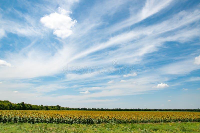 Cloudscape hermoso sobre campo del girasol con las flores florecientes amarillas con la hierba verde en primero plano Paisaje rur fotos de archivo libres de regalías