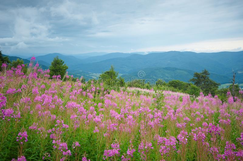 Cloudy mountain landscape seen from a fireweed meadow in the Carpathian Mountains in Ukraine royalty free stock images