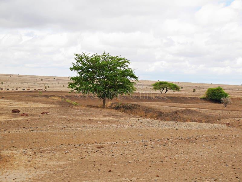 Trees in the desert. Cloudy sky in Tanzania, Africa, to meet adventures, safaris, Tarangiri, Ngorongoro, the mountains, Africa, Safari in Africa, Arusha, green stock photography
