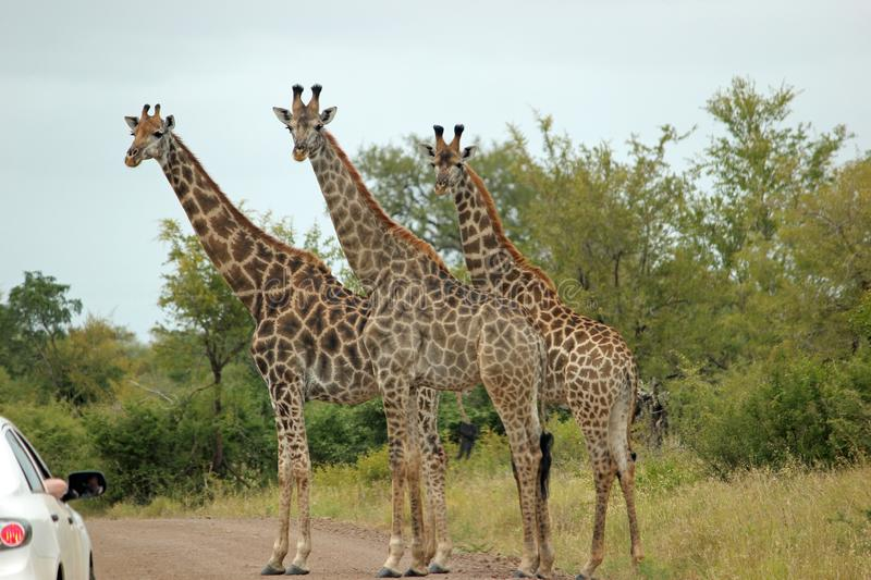 Clour image of group of three giraffes standing in dirt road royalty free stock image