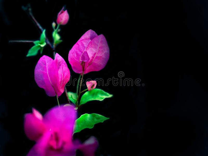 Clouse_up aper花,九重葛,在孤立黑暗的背景的九重葛glabra舒瓦西 图库摄影