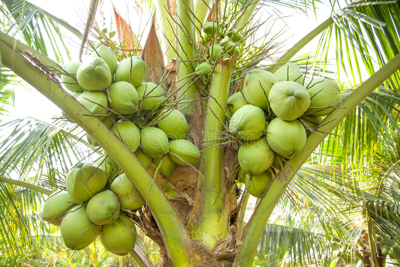 Download Clouse Up, Bunch Of Coconuts On Coconut Tree Royalty Free Stock Photos - Image: 28804248