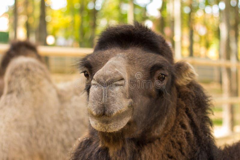 Clouseup-Porträt des Kamels auf Natur stockfoto