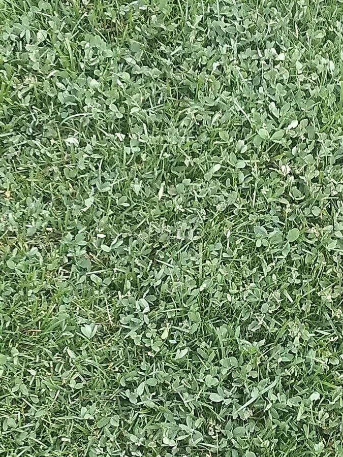 Clove Grass stock photo