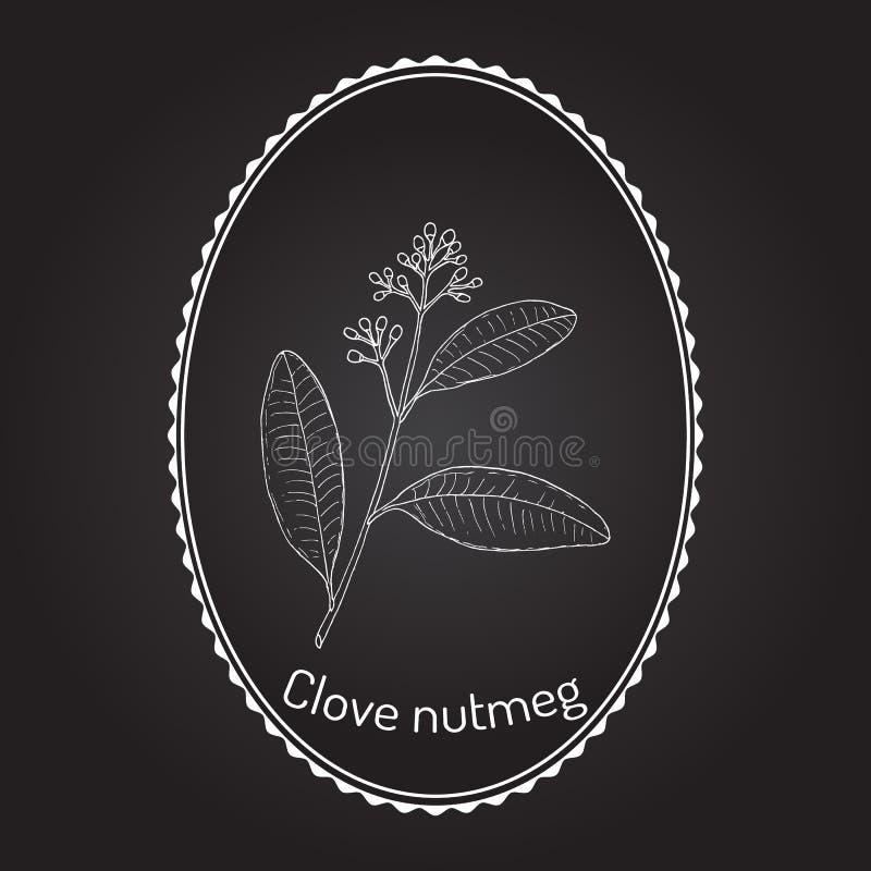 Clove nutmeg Ravensara aromatica , aromatic and medicinal plant. Hand drawn botanical vector illustration royalty free illustration