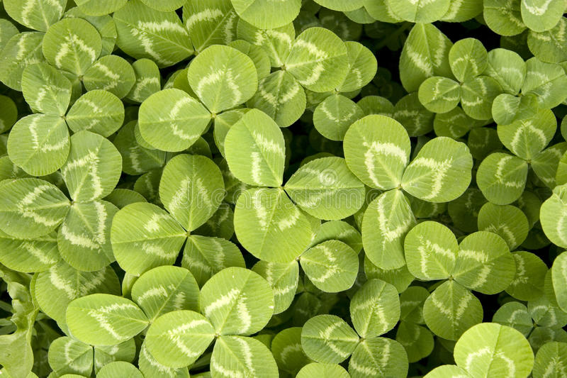 Download Clover background stock photo. Image of background, field - 13432796