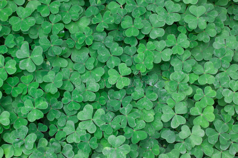 Clover background. Background from green clover leaf stock photo
