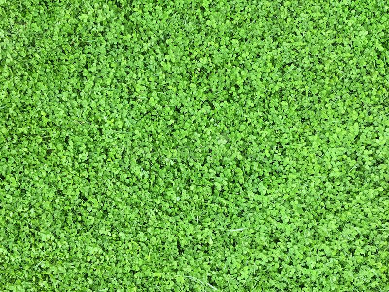 Download Clover Background Spring Day Stock Photo - Image of emerald, clover: 115434978