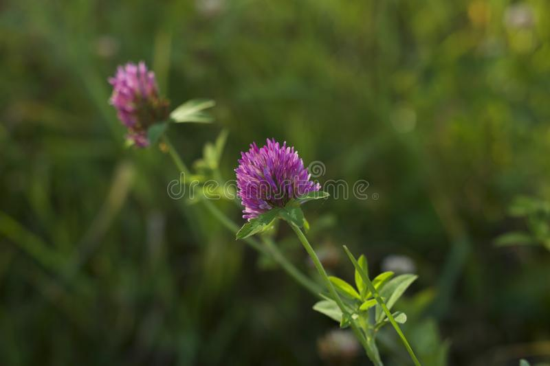 Clover blooms in pink royalty free stock image
