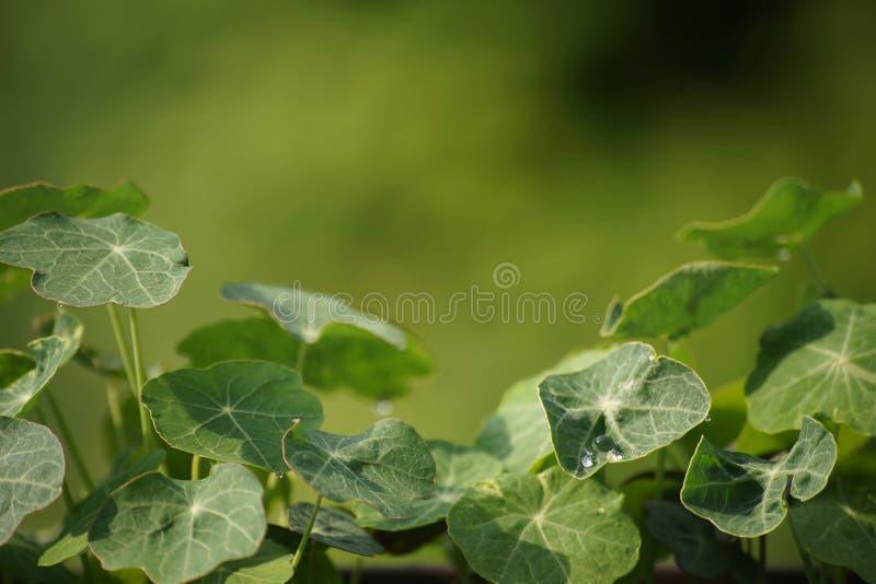 Clover closeup with dew royalty free stock photos