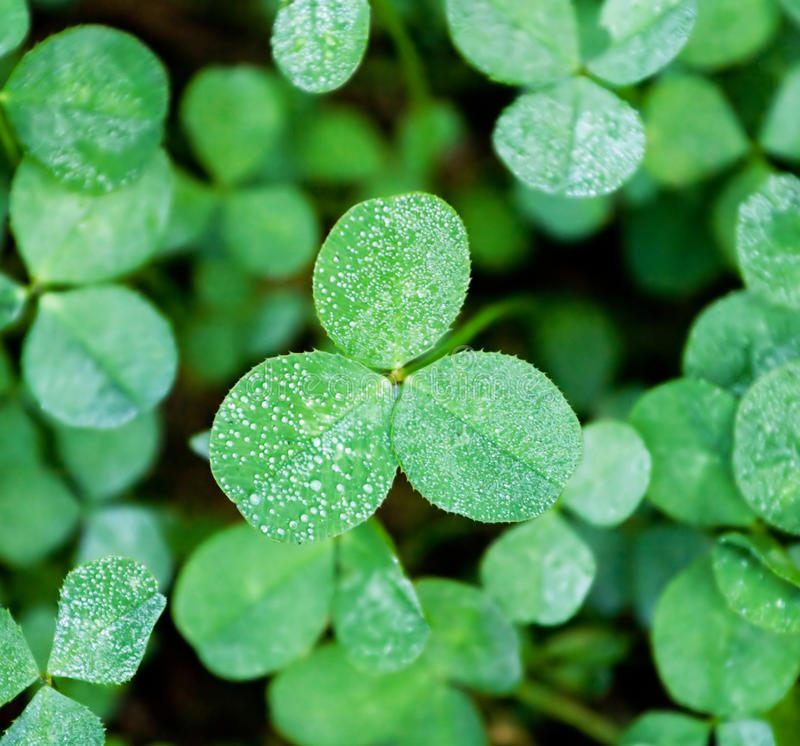 Clover with dew royalty free stock images