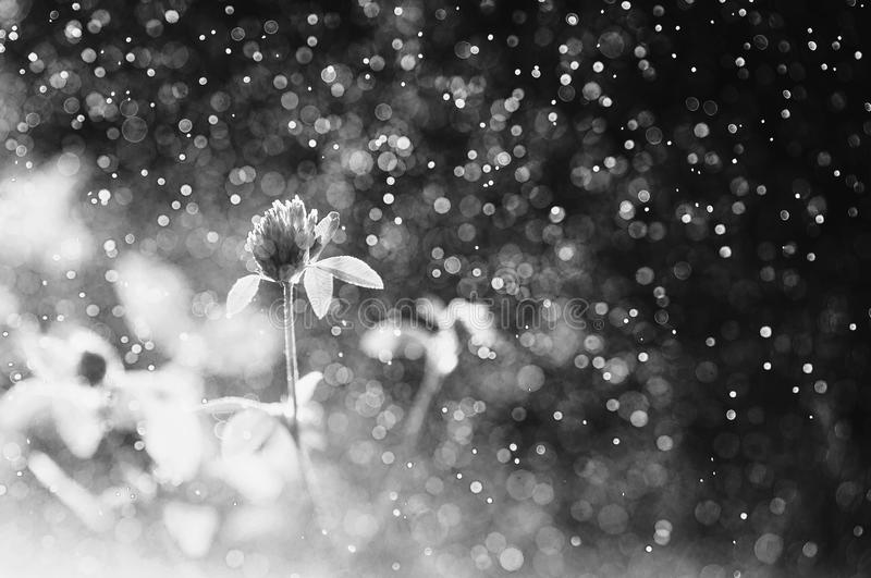 Black and white art monochrome photography. Clover with dew. Beautiful summer field flower in the rain on a dark background. Natural abstract photo. Bokeh from royalty free stock image