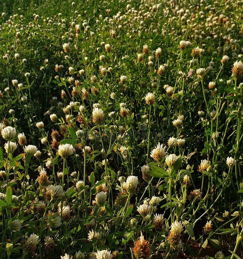 Of the clover. Family beautiful flowers in shape and color as the beauty of the plant and its benefit knows the value of livestock breeders may double the royalty free stock photo