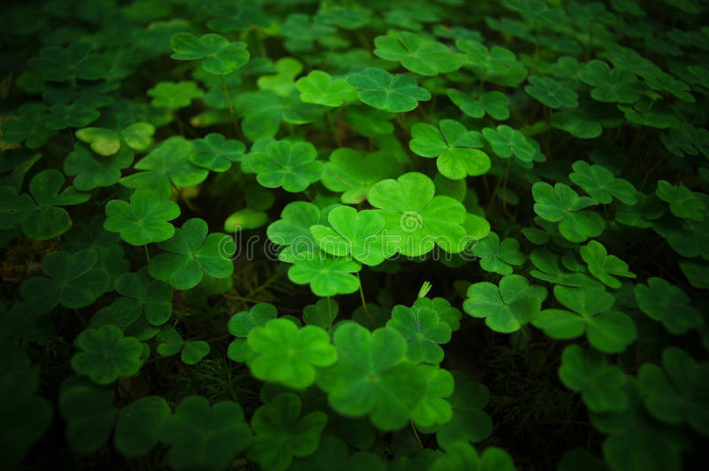 Clover field royalty free stock image