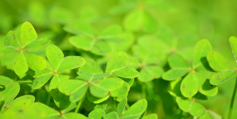Clover Field stock images
