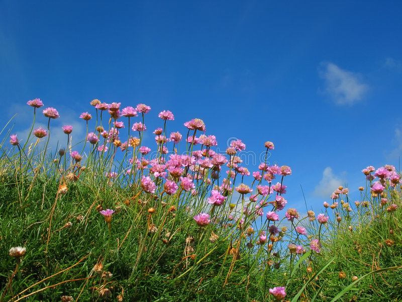 Clover field. Clover on grass with blue sky royalty free stock photography