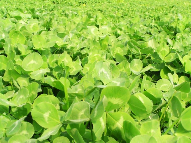 Clover field. Green clover field stock image
