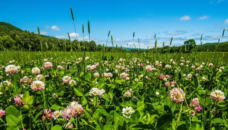 Clover field with flowers stock photo