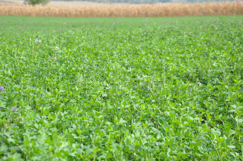 Clover field. Green clover field, background field of corn. Photo taken on: September 22nd, 2015 royalty free stock image
