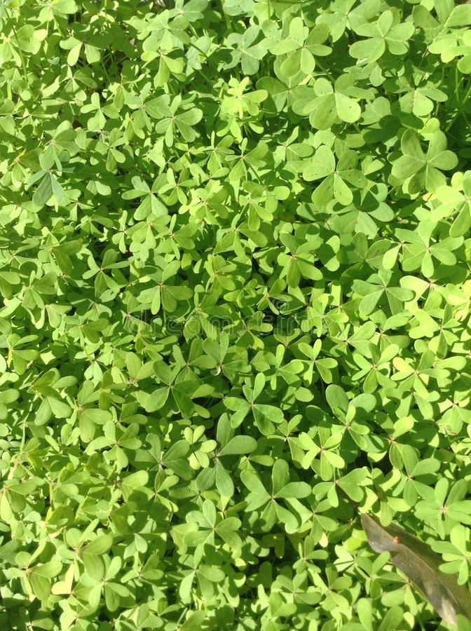 Clover Field royalty free stock photo