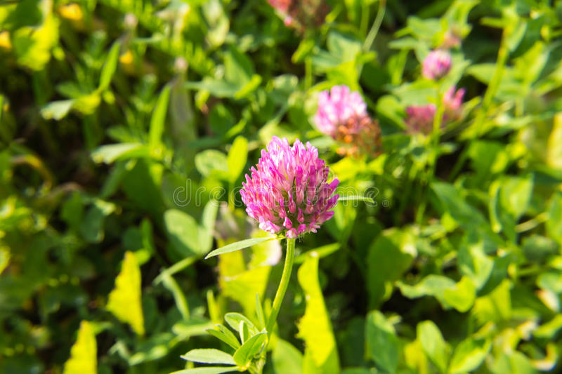 Clover flover purple sunny spring day royalty free stock images
