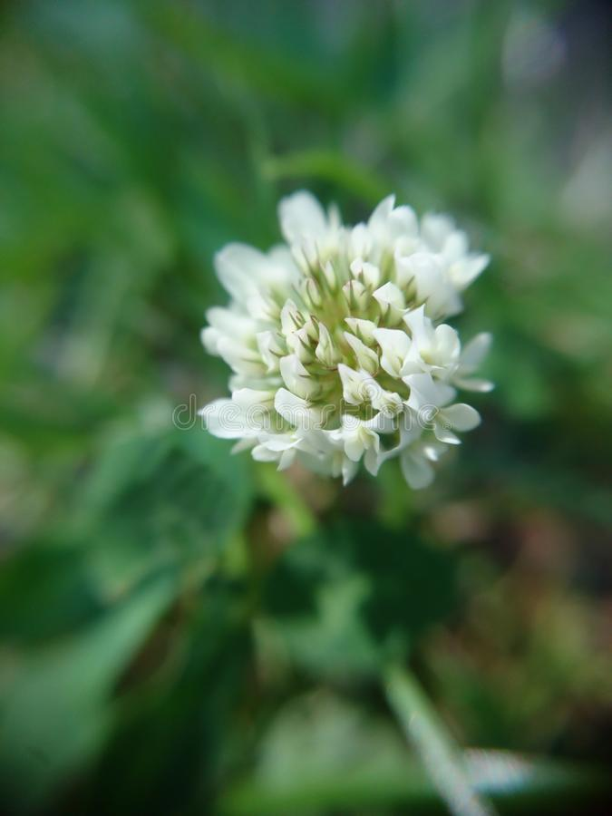 Clover flower in bloom royalty free stock photo