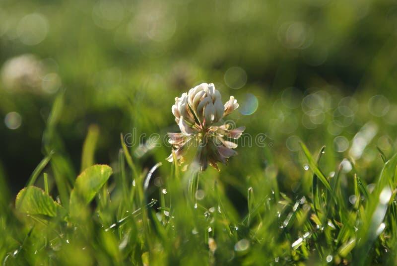 Clover Flower stock photos