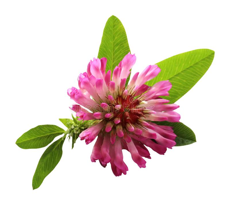 Clover flower isolated on white background royalty free stock image