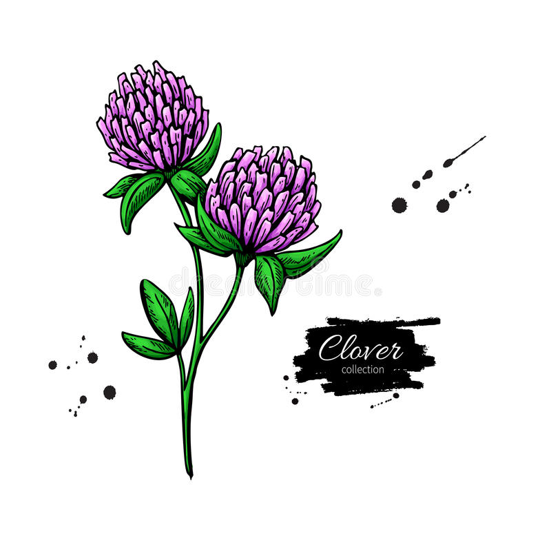 Clover flower vector drawing set. Isolated wild plant and leaves. Herbal engraved style illustration. royalty free illustration