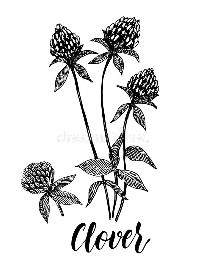 Clover flower vector drawing set. Isolated wild plant and leaves royalty free illustration