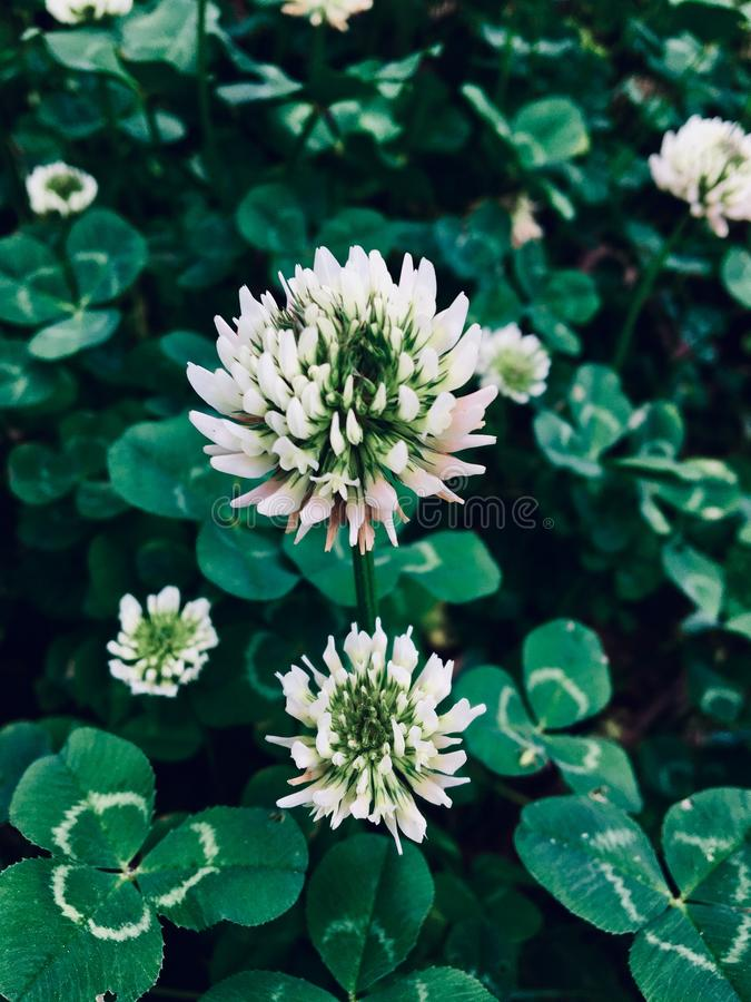 Clover flowers royalty free stock photos