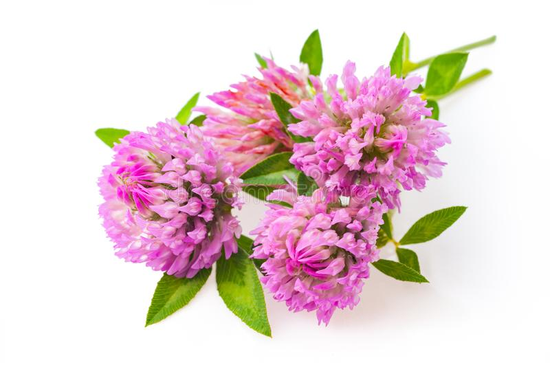 Clover flowers. Pink flower clover on white background. Medicinal herb clover flowers . Heap flowers card royalty free stock photo