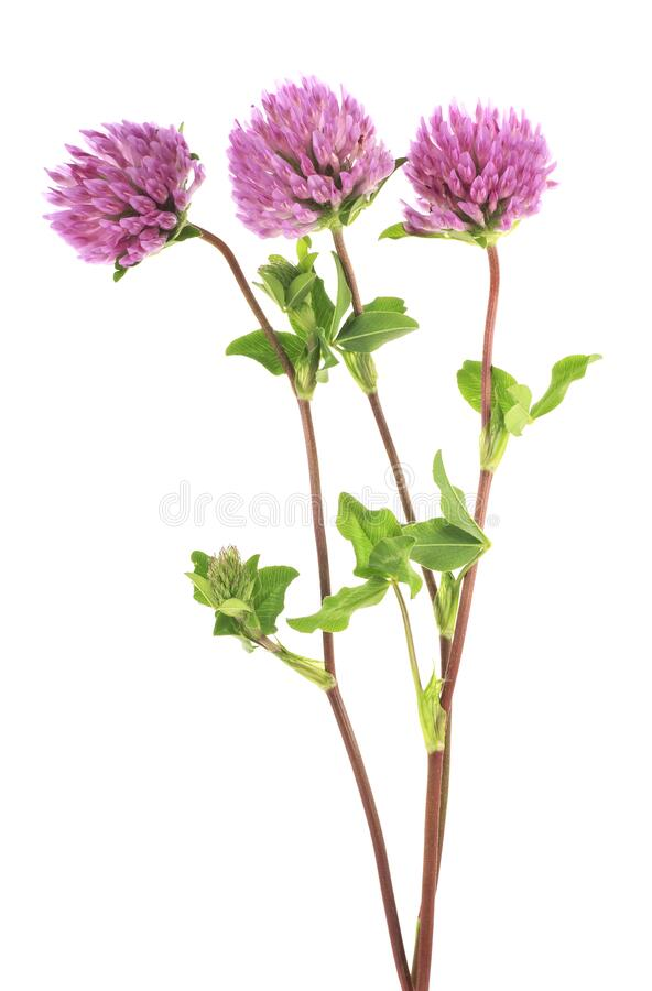 Clover flowers on stem with green leaves, white background. Clover flowers on a stem with green leaves, white background royalty free stock photography