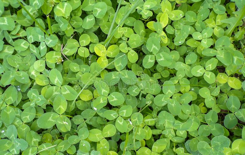 Clover in the forest close-up. royalty free stock image