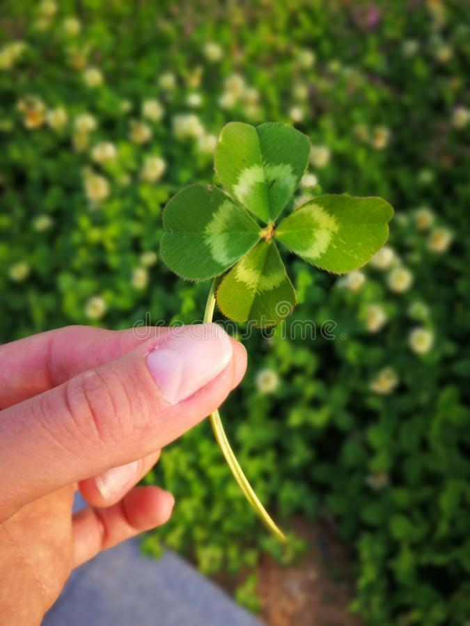 Clover leaf in the hand royalty free stock photo