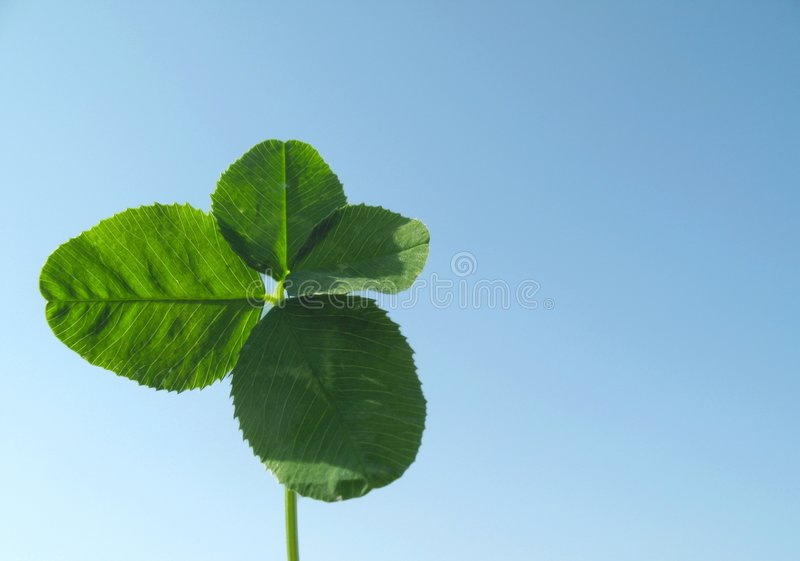 Clover of four leaves royalty free stock image