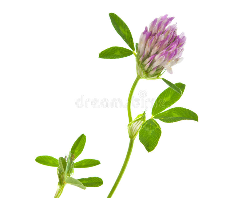 Download Clover Isolated Royalty Free Stock Image - Image: 26617346