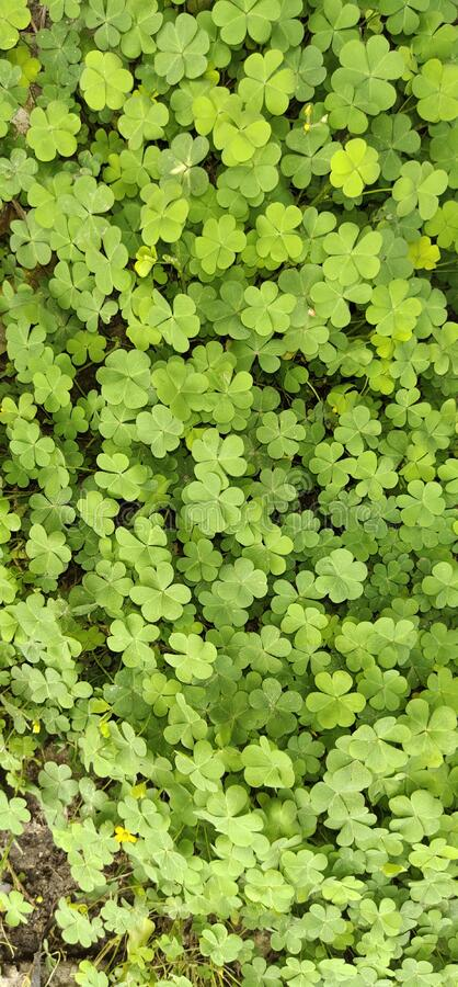 Clover leafs multiple shades for suitable doors. And walls and home decoration stock images